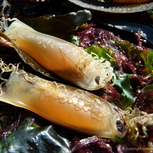 Dog Fish egg cases