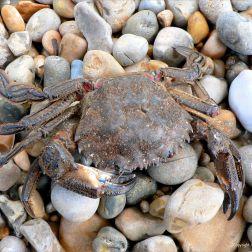P1110784VelvetSwimmingCrab