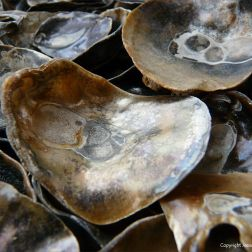 Saddle Oyster Shells
