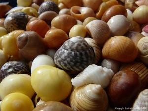 Common British Seashells