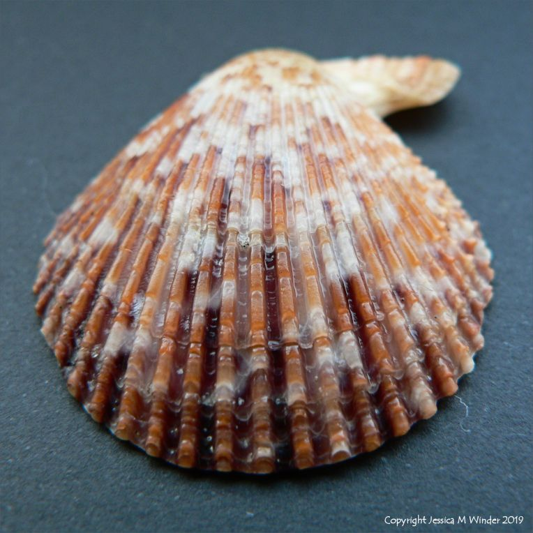 Variegated Scallop