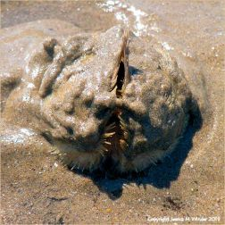 Heart Urchin emerging from sand burrow
