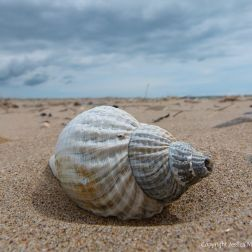 Common Whelk Shell