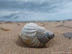 Common Whelk Shell