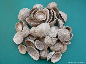 Archaeological limpet shells