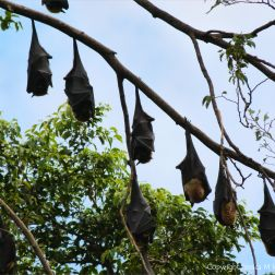 Roosting fruit bats in Queensland