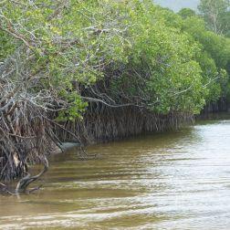 Mangroves on a river bank at Kewarra Beach in Queensland