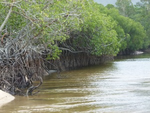 Mangroves on a river bank at Kewarra Beach in Queensland