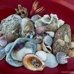 Assorted Cairns seashells