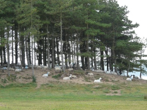 Pine trees at Whiteford Point, Gower