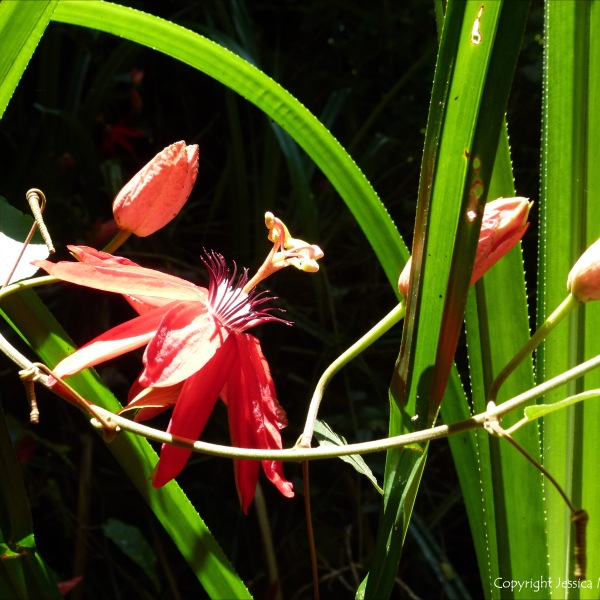 Red Rainforest Flower in Queensland