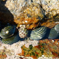 Nerite gastropods in Queensland
