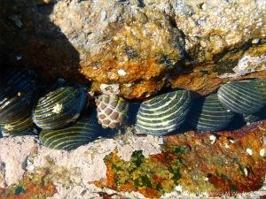 Nerite gastropods in Queensland