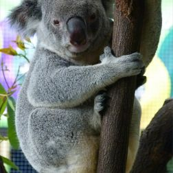 Koala in Queensland