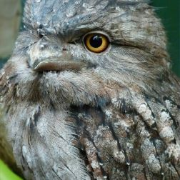 Tawny Frogmouth bird in Queensland