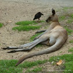 Kangaroo in Queensland