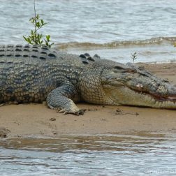 Saltwater crocodile in Queensland