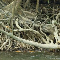 Mangrove roots on the bank of Daintree River, Queensland