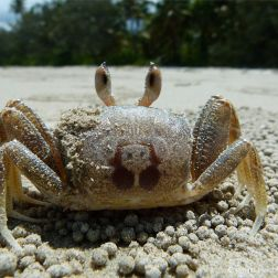 Ghost Crab in Queensland