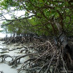 Mangroves on the beach in Queensland