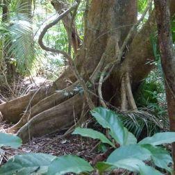 Tree roots at Dubuji, Queensland, Australia