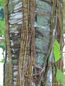Lichen and lianas in Queensland