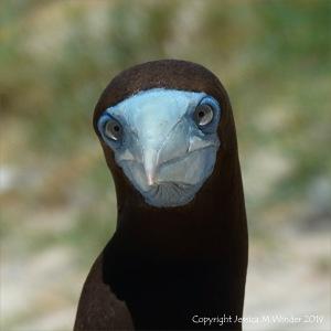 Booby bird on Michaelmas Cay in Queensland