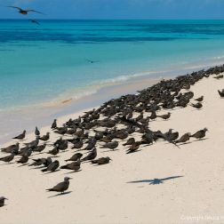 Sooty terns on Michaelmas Cay in Queensland