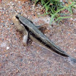 Mud Skipper fish