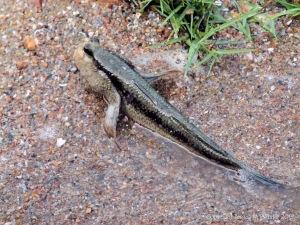 Mud Skipper fish
