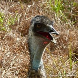 Emu in Queensland