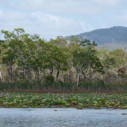 Trees on the banks of the Mareeba Wetlands in Queensland Australia