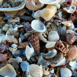 Seashells at Cairns in Queensland