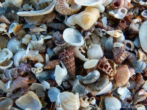 Seashells at Cairns in Queensland