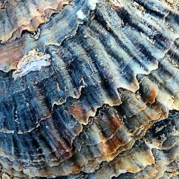 Oyster shell