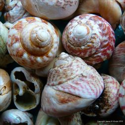 Turban top shells