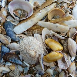 Strandline seashells in situ