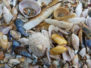 Strandline seashells in situ