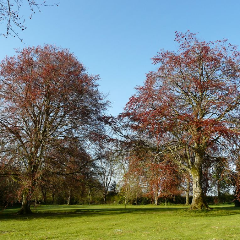 Beech trees in spring at Charlton Down