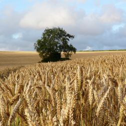 Tree standing in a wheat field in summer:, CD