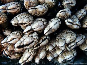 Pollicipes polymerus goose barnacles on the Oregon Coast