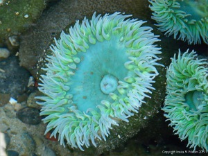 Giant Green Sea Anemone (Anthopleura xanthogrammica)