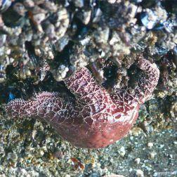 Seastar eating mussels at Yachats