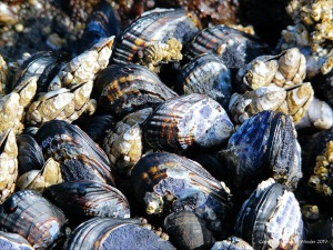 Mussels at Yachats