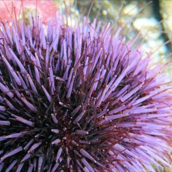 Tube feet on a sea urchin: Sea urchin with slender red tube feet extended between long purple spines