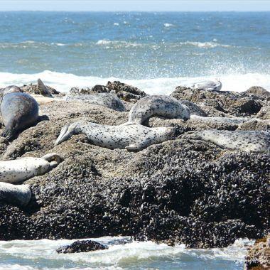 Harbour Seals basking on a remnant of basalt wave-cut platform
