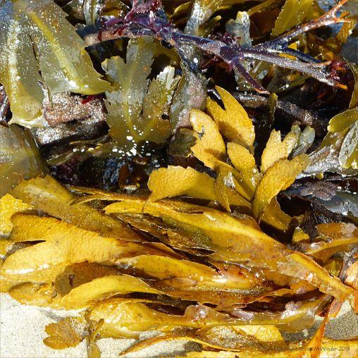 Seaweed freshly washed ashore on a sandy beach