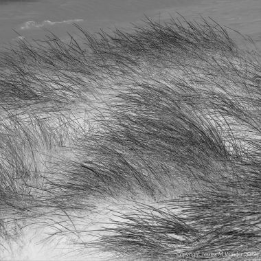 Black and white photograph of marram grass on dunes