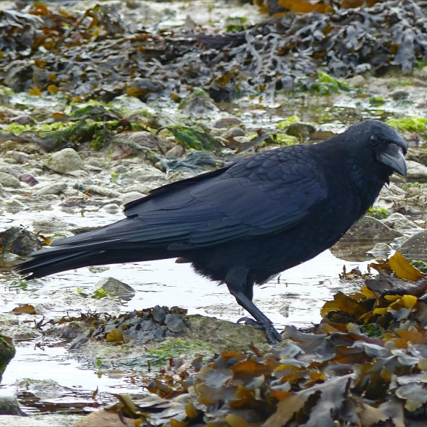 Crow foraging among seaweed on the seashore