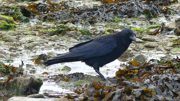 Crow foraging among seaweed on the seashore